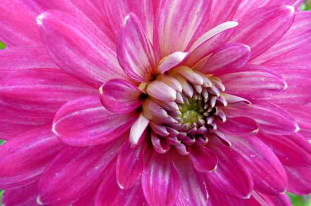 Dahlia bright pink low res