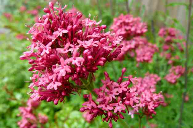 Red Valerian2 low res