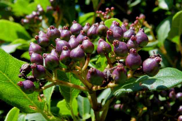 Viburnum buds low res
