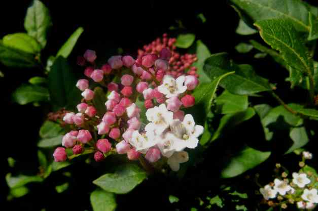 Viburnum Shrub pink low res