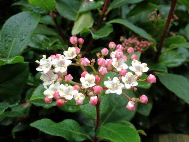 Virburnum cluster white low res