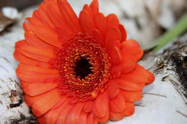 Gerbera orange low res
