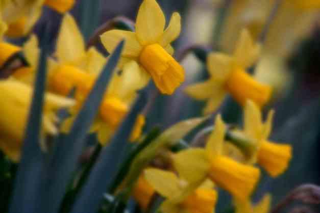 Daffodils mini garden low res