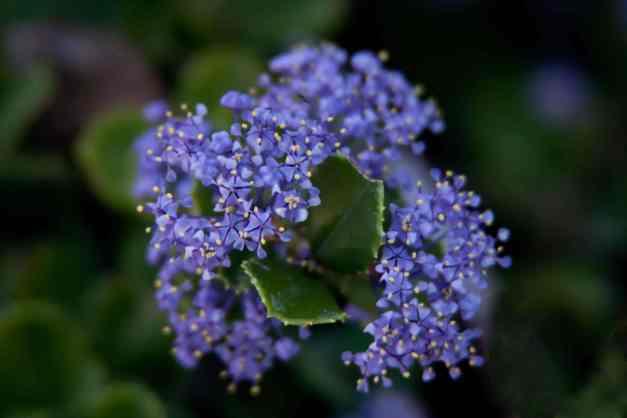 California lilacs 3 low res