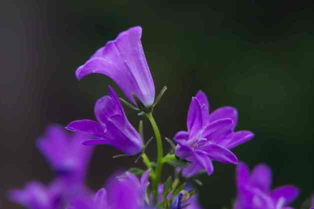 Campanula Get Mee low res