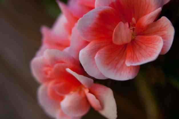 Geraniums pink 2 low res