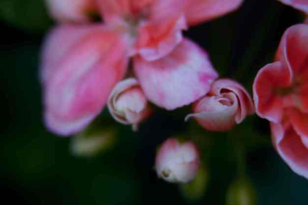 Geraniums pink 5 low res
