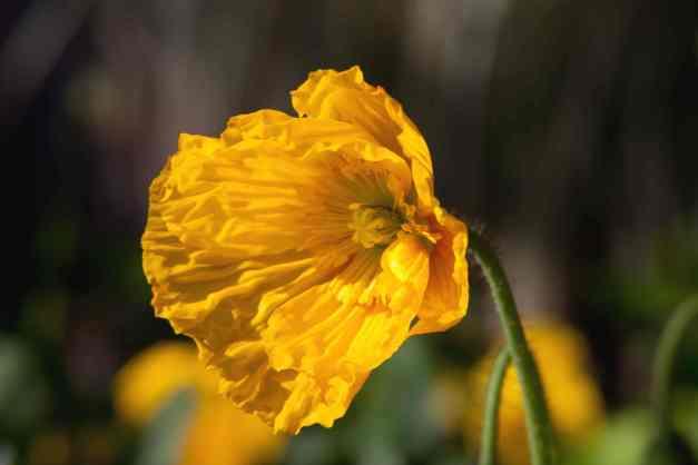 Poppy yellow low res