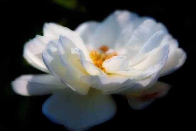 Rose white Orton low res