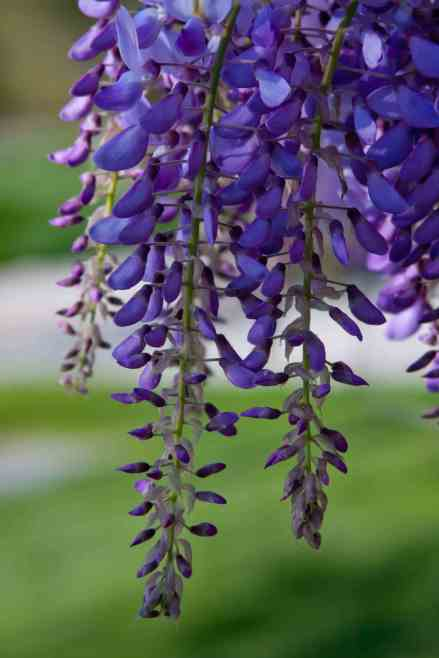 Wisteria drops low res