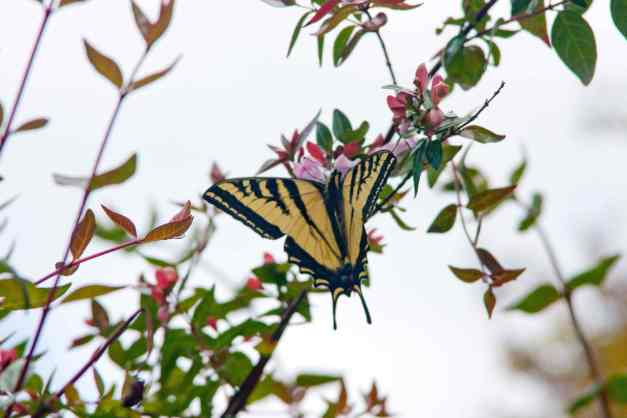 Butterfly Swallowtail low res