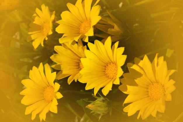 Gazanias yellow  V low res