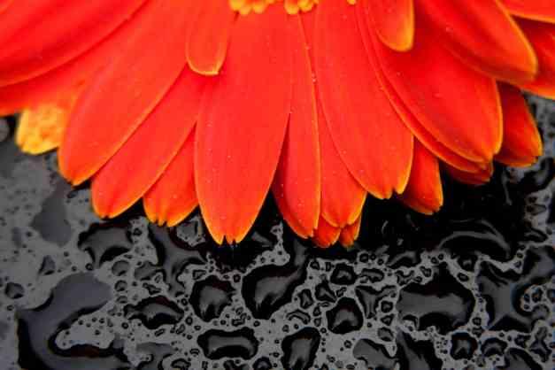 Gerbera Orange on Black low res