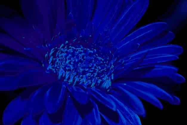Gerbera solar blue low res