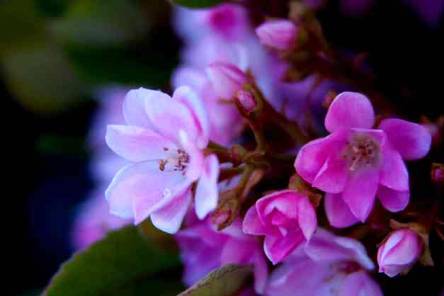 Indian Hawthorn 4 low res