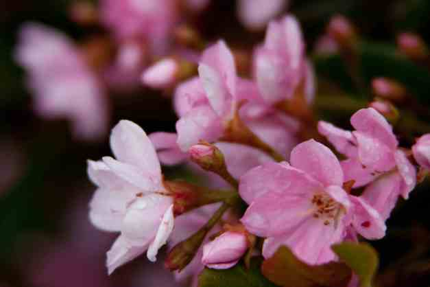 Indian Hawthorn wet low res