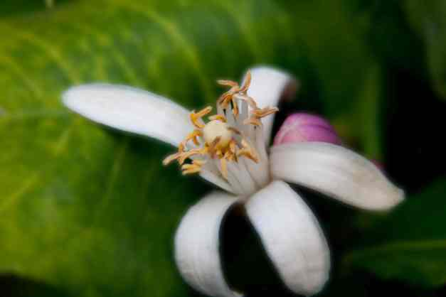 Lemon blossom and bud low res