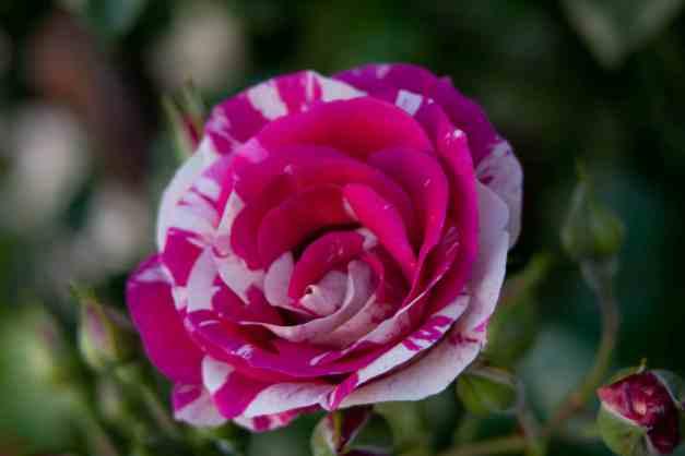 Rose vari 4  low res