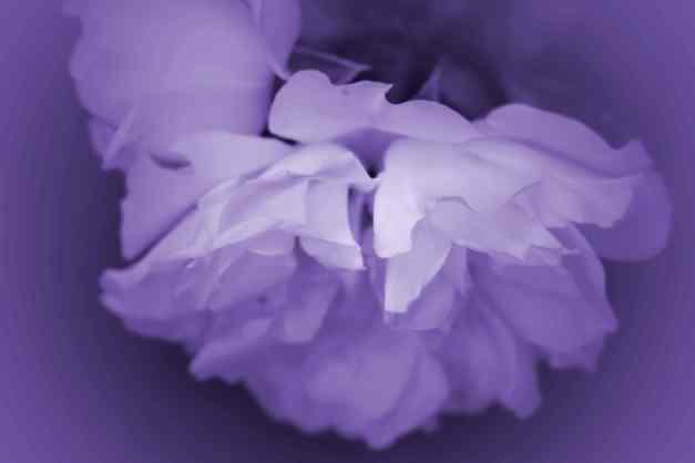 Rose white purple V low res