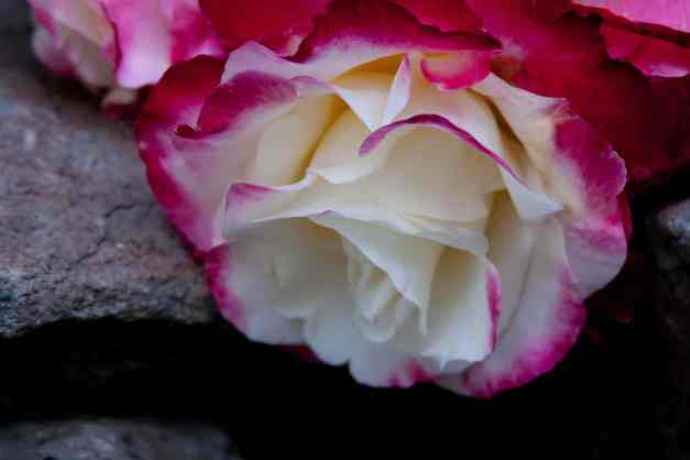 Roses bunch vase 6 low res