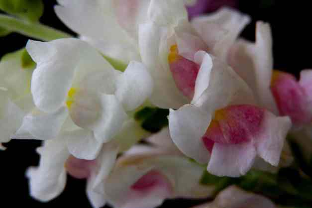 Snapdragons 2 low res
