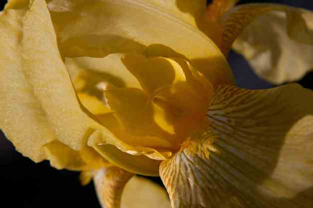 Iris yellow eye 2 low res