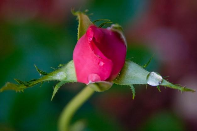Rosebud drops 2