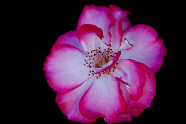 Tea rose on B