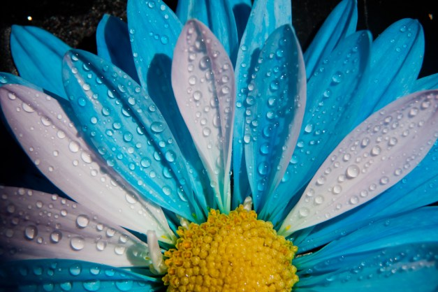 Chrysanthemum blue white 2