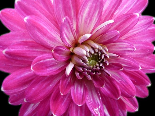 Dahlia pink 3