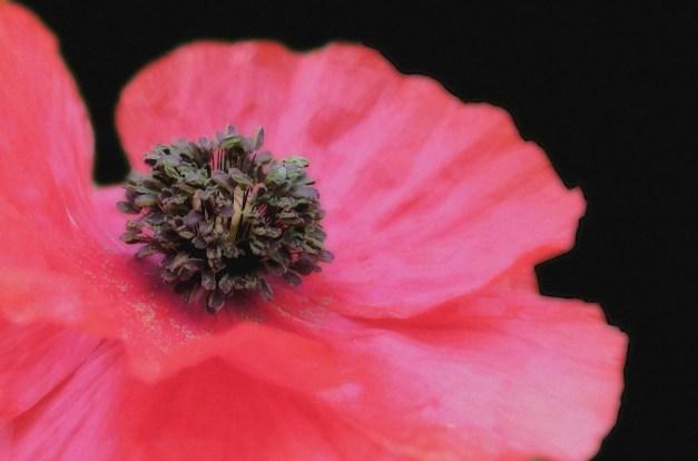 Poppy red open Orton