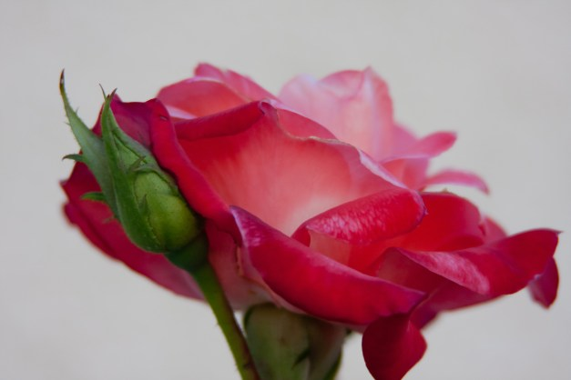 Rose peach pink 3