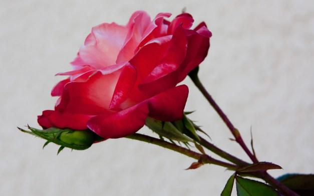 Rose peach pink 4