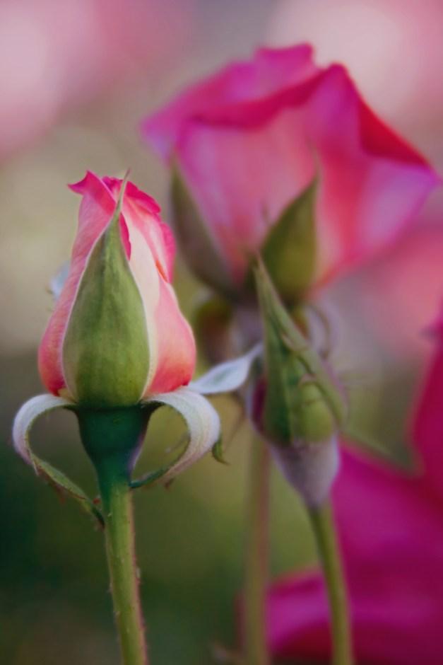 Rosebud and roses