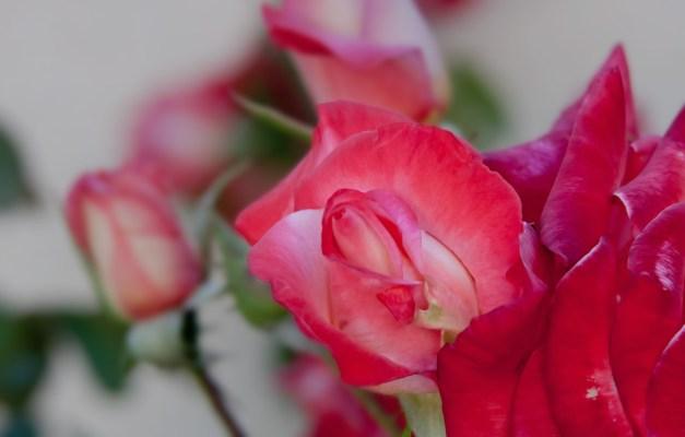 Roses peach pink 4