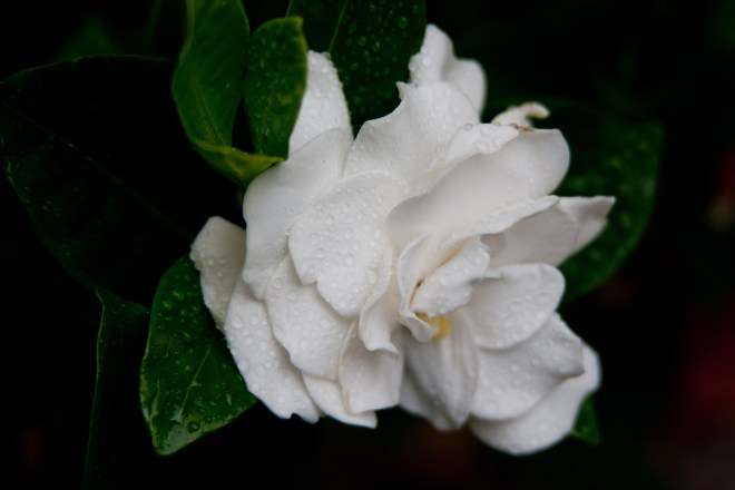 Gardenia rainsdrops