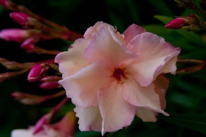 Oleander peach 2