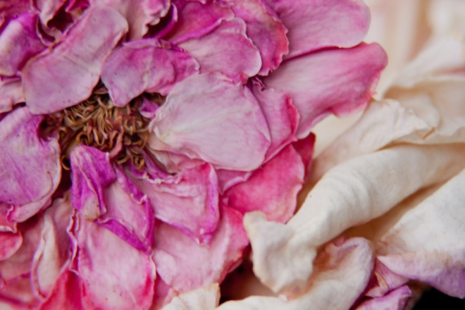 Rose dried pink