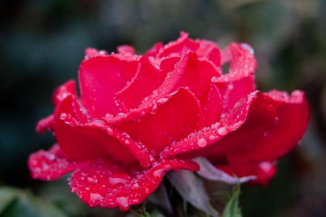 Rose red wet