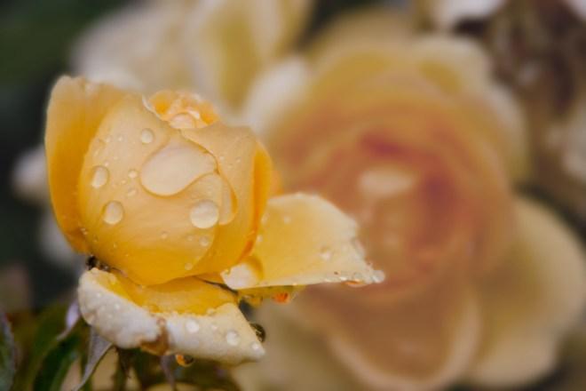 Rose yellow rain