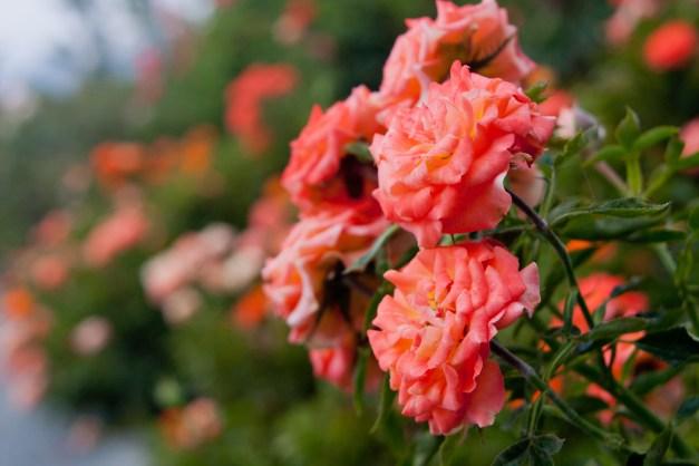 Roses orange mini tea