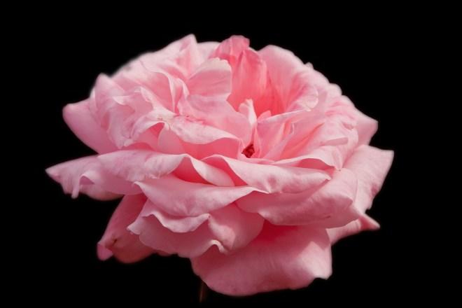 Rose single pink on B 2