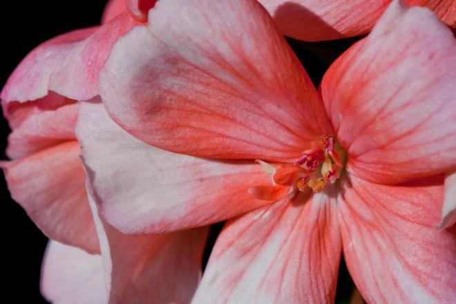 Geranium close up