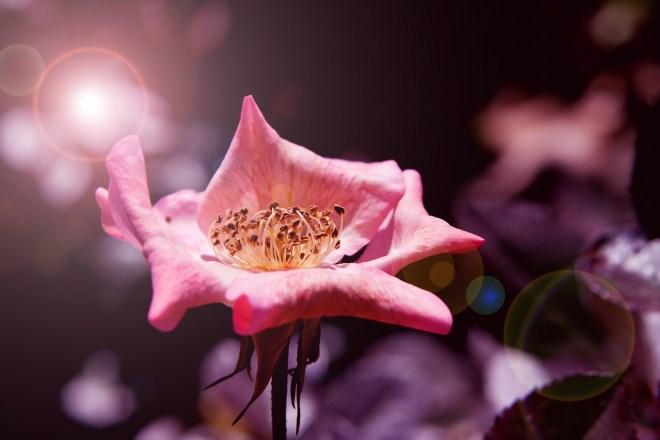Rose soft pink flare