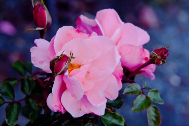 Roses pink cluster on blue