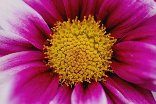 Chrysanthemum pink macro