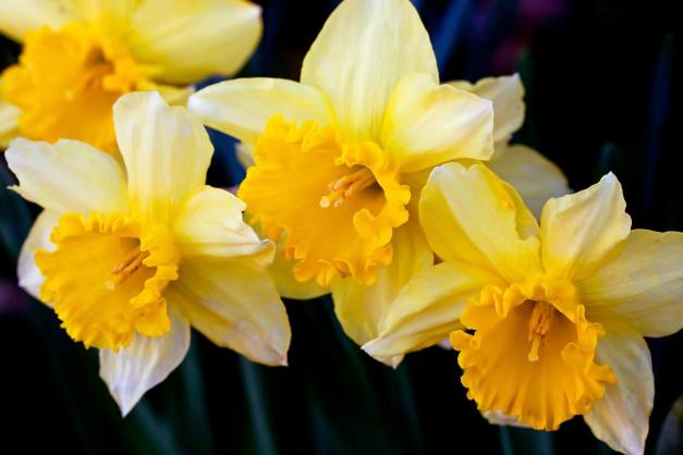 Daffodil cluster low res
