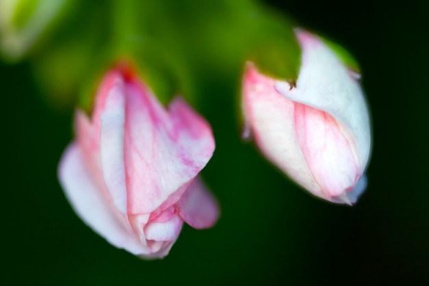 Geranium buds