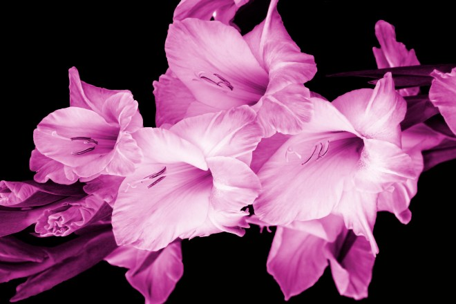 Gladioli pink filter_MG_2730