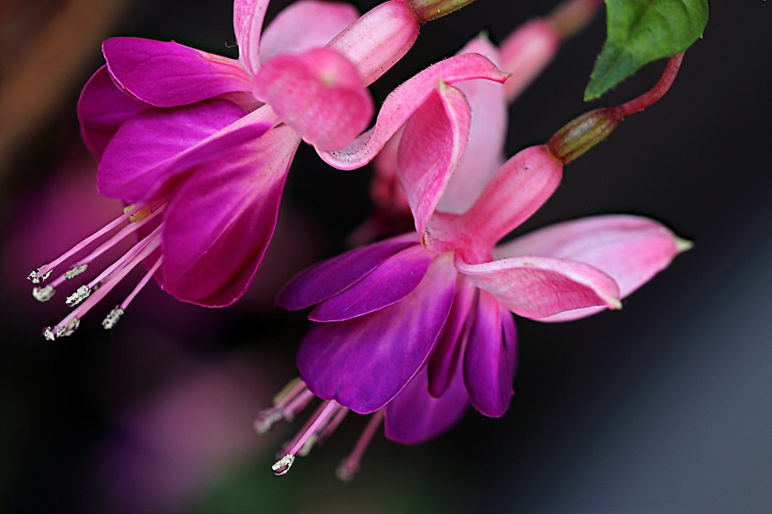Fuschia pair